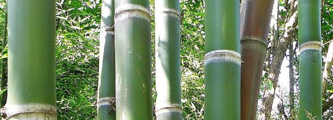 Imagen de la noticia Usan carbón de bambú para descontaminar aguas con arsénico